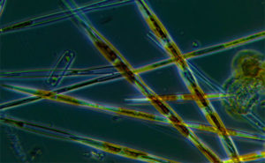Harmful Algal Blooms on California Fisheries